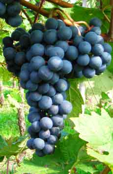 Dornfelder grape