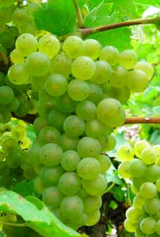 Rivaner (Müller-Thurgau) grape